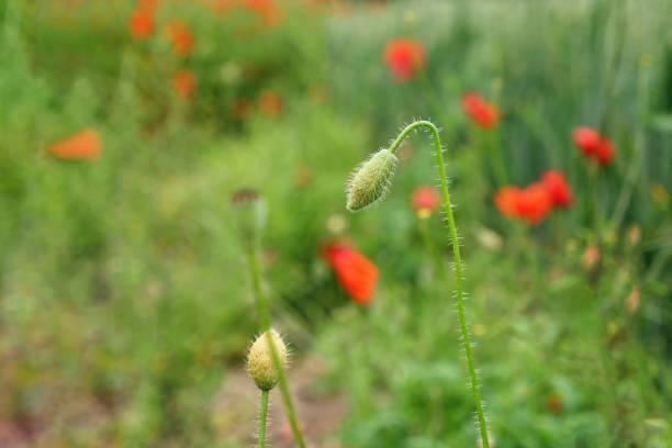 Knospe einer geschlossenen Mohnblume in einem großen Mohnfeld – Foto