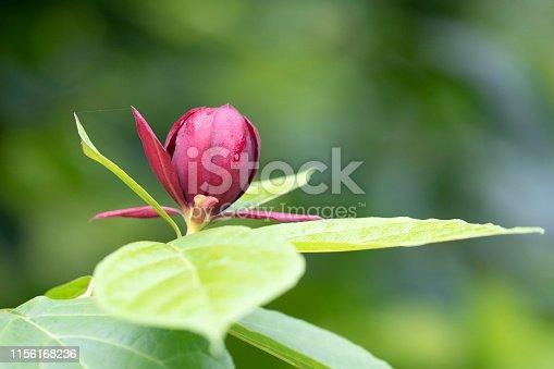 Bud of Calycanthus hartlage