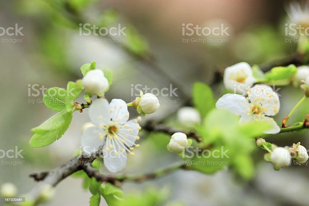 Bud of cherry royalty-free stock photo