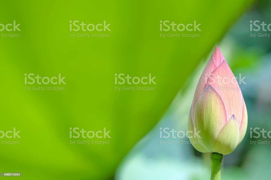 bud of lotus royalty-free stock photo