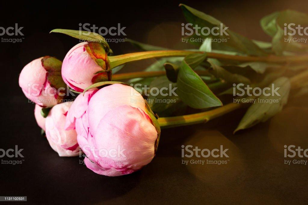 Botão do close up da flor do peony no backgorund escuro. - foto de acervo