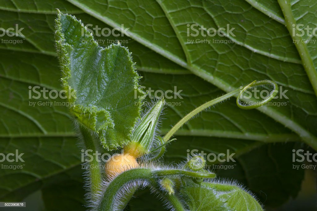 bud of pumpkin flower in the garden stock photo