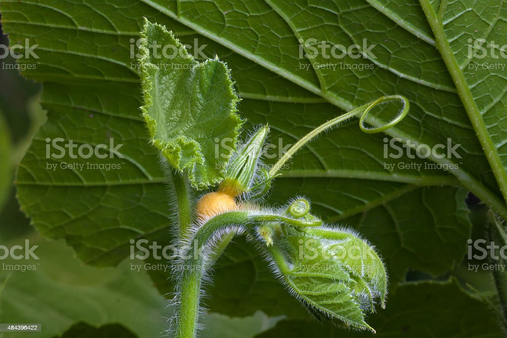 bud of pumpkin flower stock photo