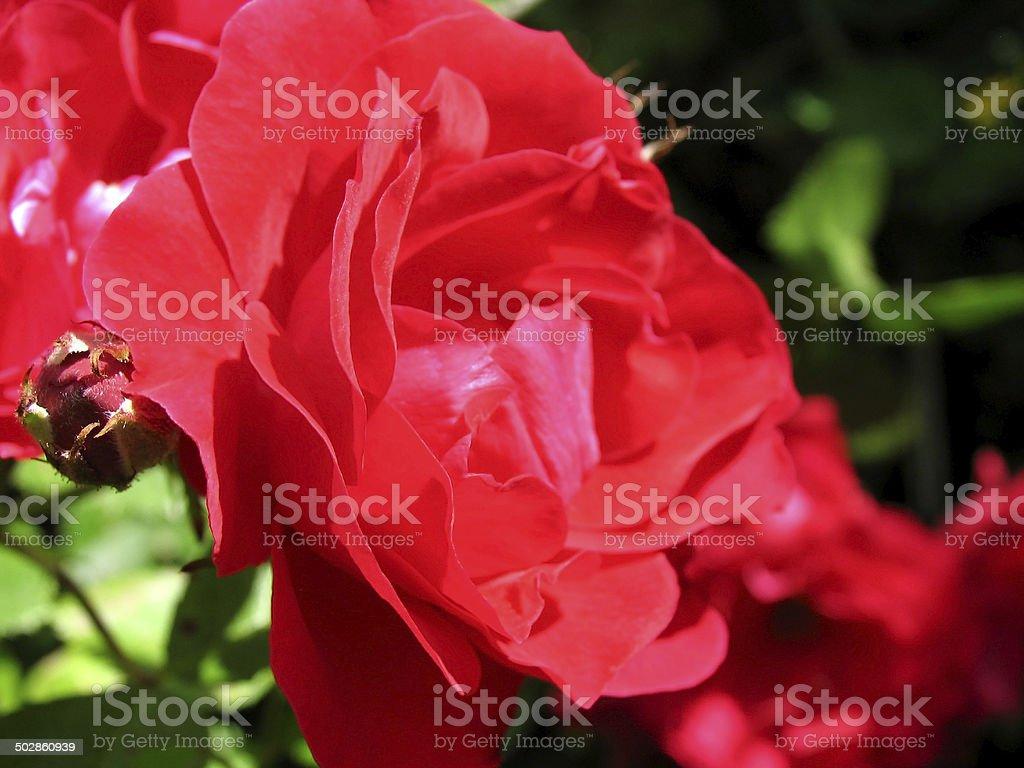 Bud of rosehip stock photo