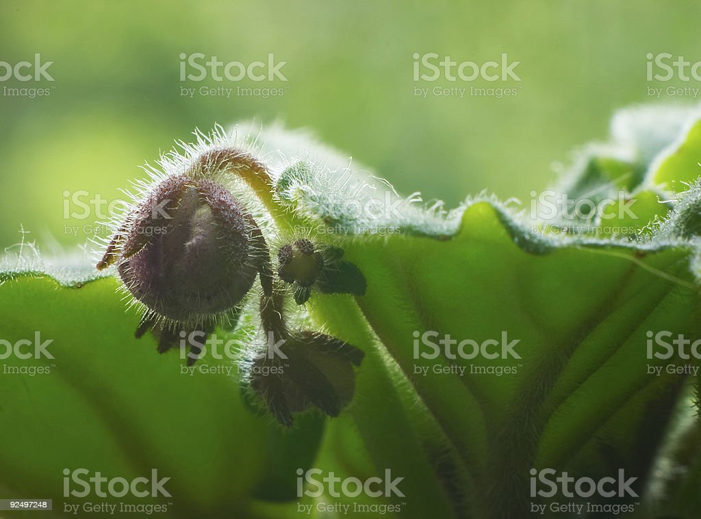 Bud of violet royalty-free stock photo