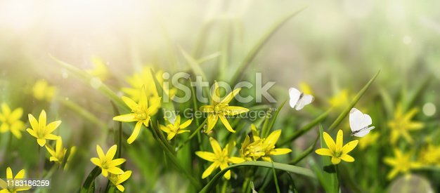 678639336 istock photo Bud of yellow snowdrops. The first spring flowers in meadow, in the sunlight with two white butterflies 1183186259