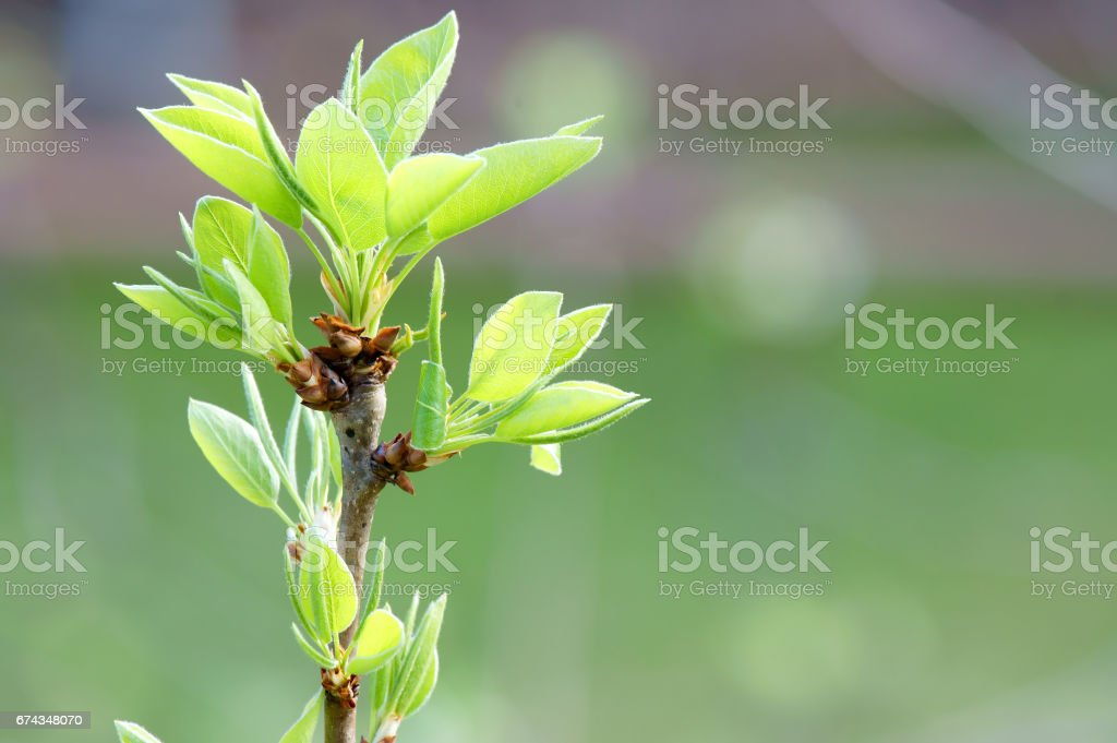 Bud pears in the spring stock photo