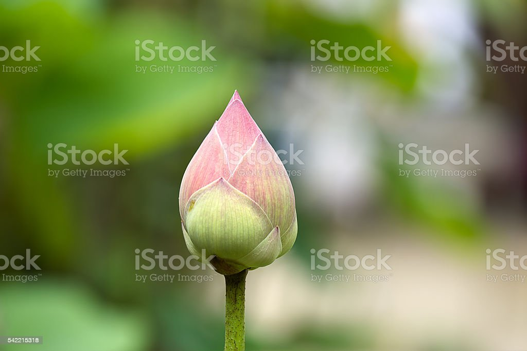 Bud pink lotus in the garden,  Blur and Select focus stock photo