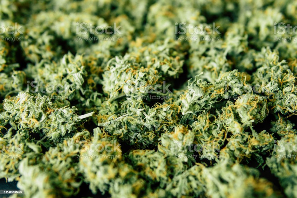 bud, sea of green weed Close up many cannabis royalty-free stock photo