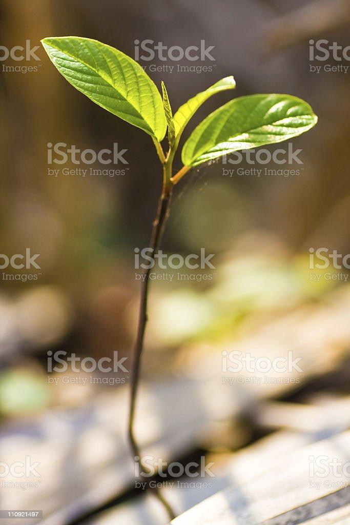 Bud, small tree royalty-free stock photo