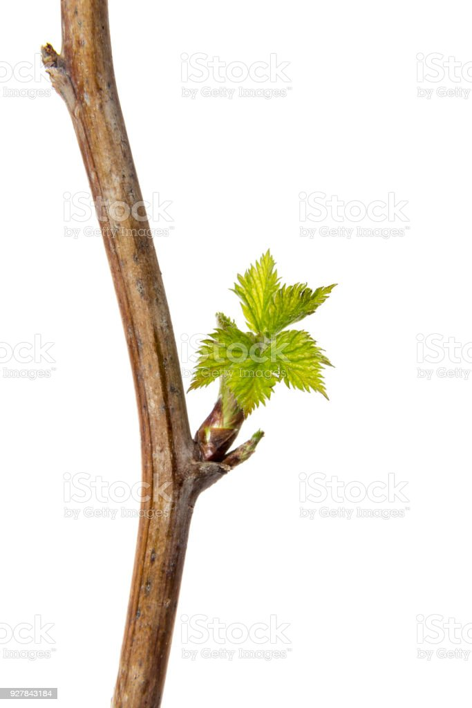 Bud with leafs growing from it. An early spring branch with leafs isolated on a white background. stock photo