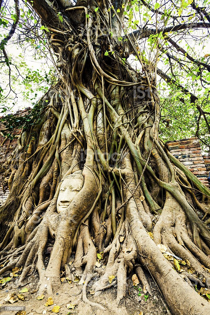 Buddha head between roots of fig tree royalty-free stock photo