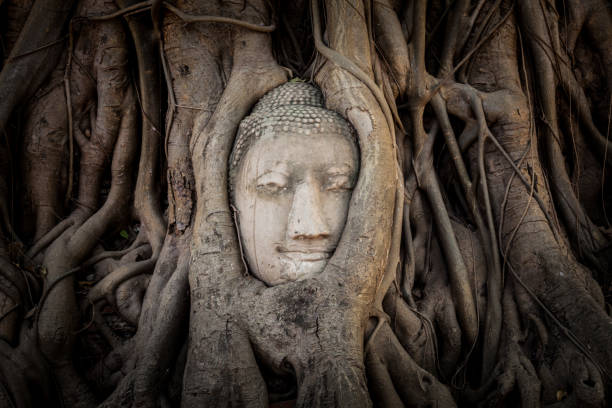 Buddha head in tree roots in the ruined ancient temple stock photo
