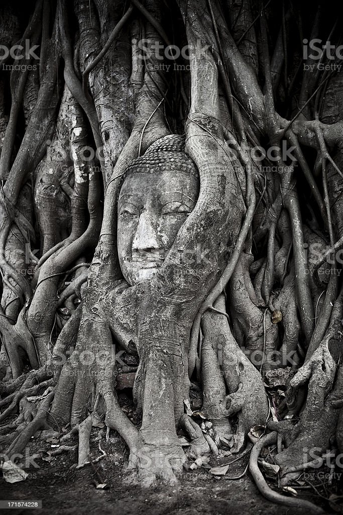 Buddha Head Wrapped In A Tree stock photo