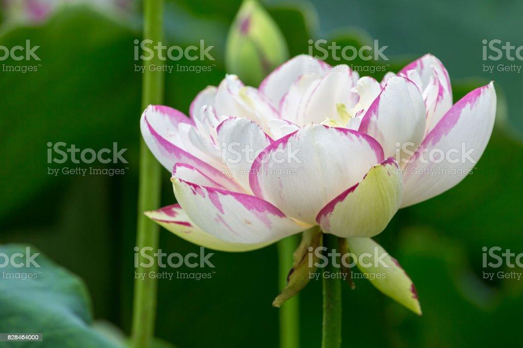 Buddha Lotus Flower Closeup Stock Photo More Pictures Of Aquatic