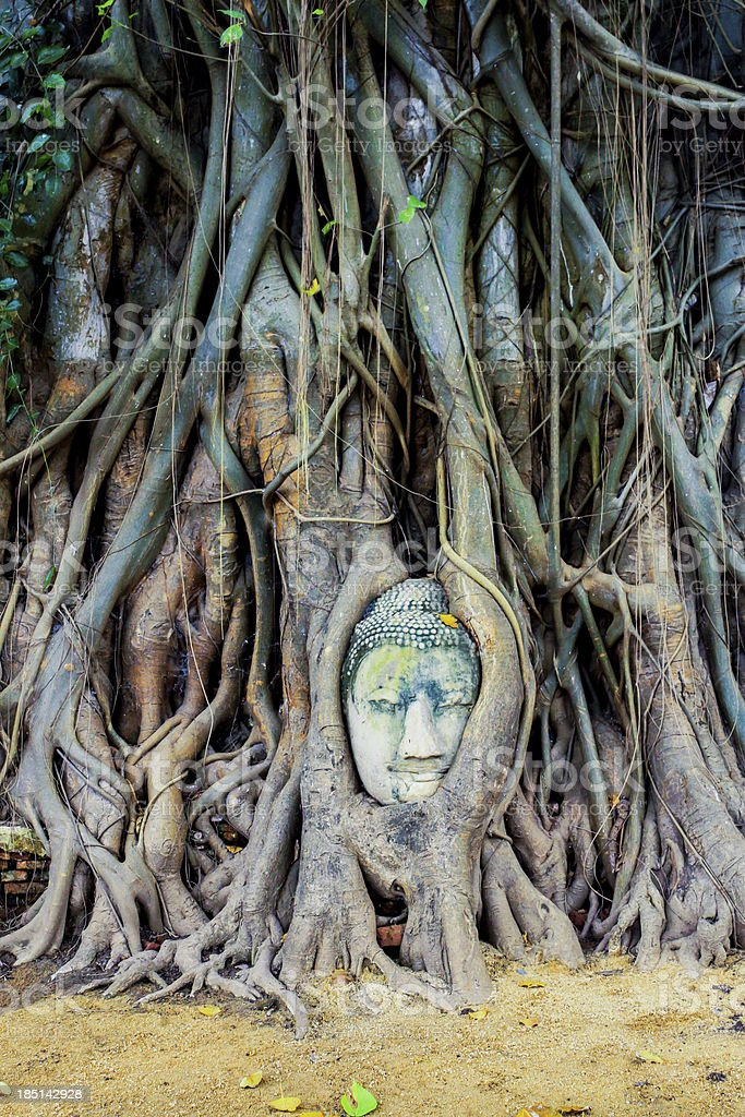 Buddha statue in the roots of tree at , Ayutthaya, Thailand royalty-free stock photo