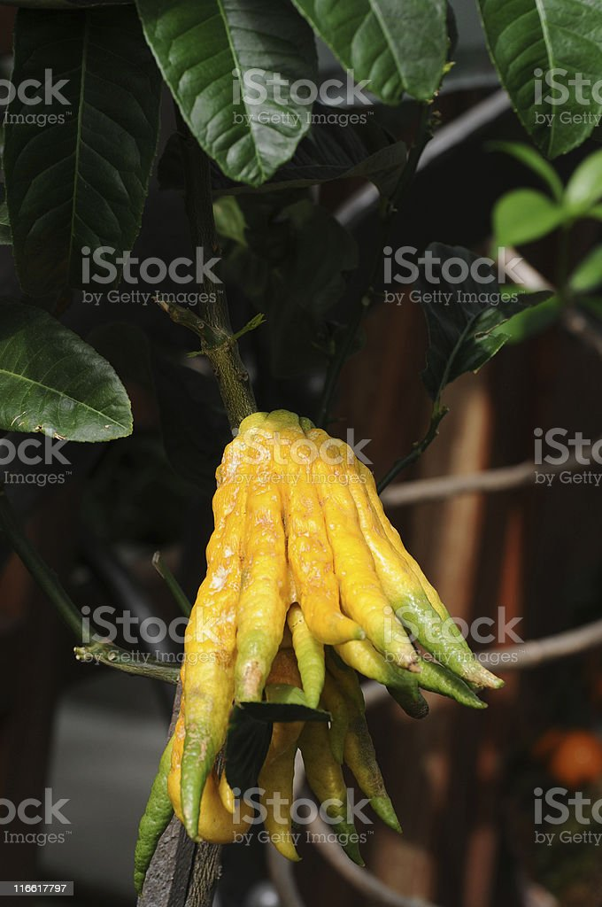 Buddha's hand  Citrus medica royalty-free stock photo