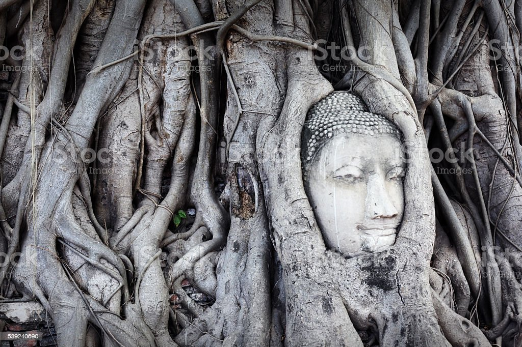 Buddha's head in tree roots royalty-free stock photo