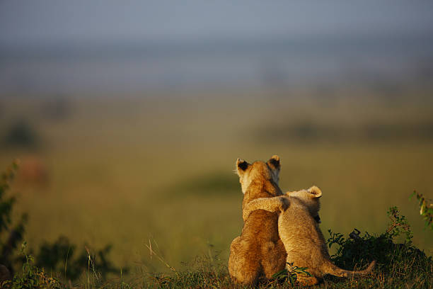 buddies Lion cubs, buddies, morning light, in Masai Mara, Kenya. lion cub stock pictures, royalty-free photos & images