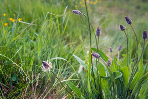 knospen und blühen blüten des werks englisch wegerich aus der nähe - blütenstand stock-fotos und bilder