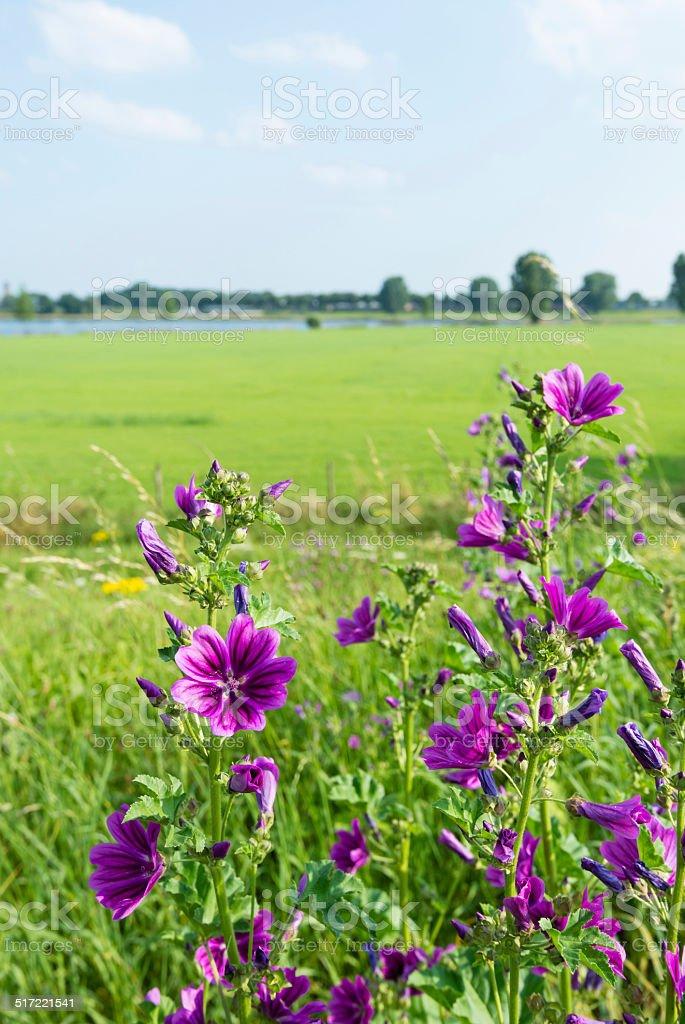 Budding and purple flowering High Mallow plants stock photo