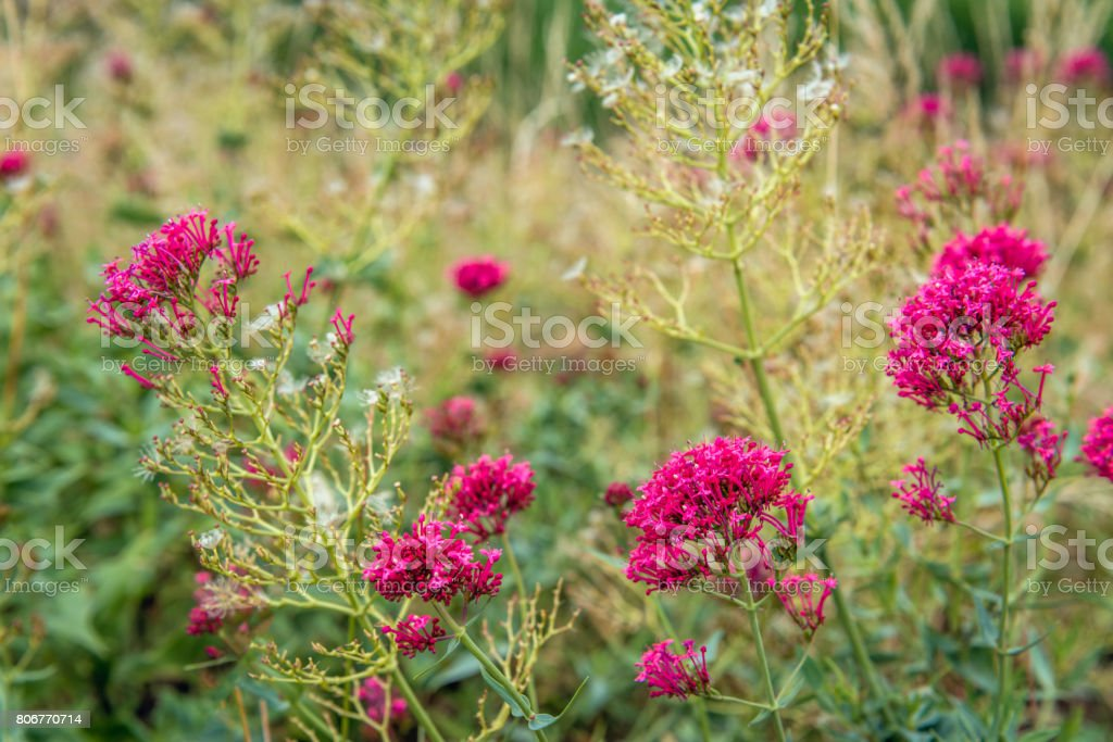 Budding, flowering and overblown red valerian growing as a wild plant stock photo