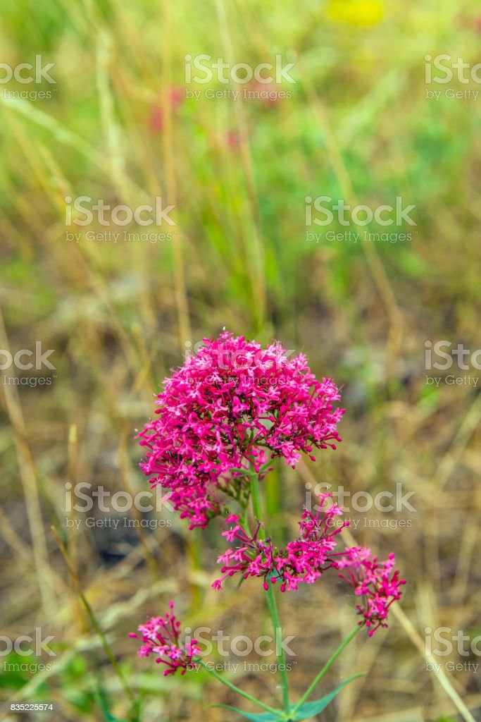 Budding, flowering and overblown red valerian plant growing in wild nature stock photo