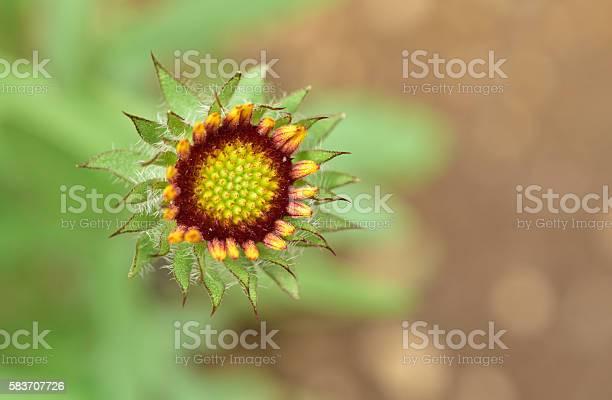 Photo of Budding Goblin Flower
