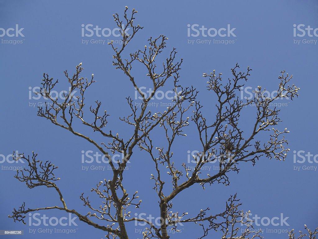 Budding Japanese Magnolia with Nest and Blue Sky stock photo