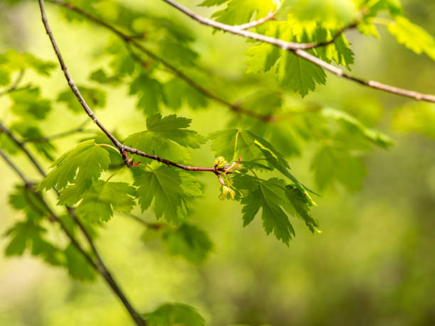 BUdding maple branches with new growth stock photo