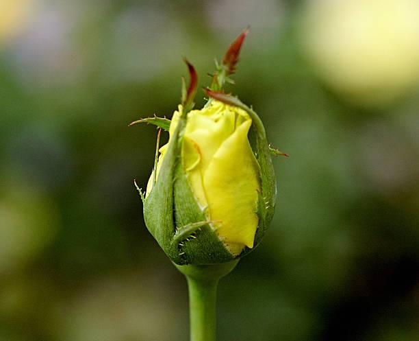 Budding Rose stock photo