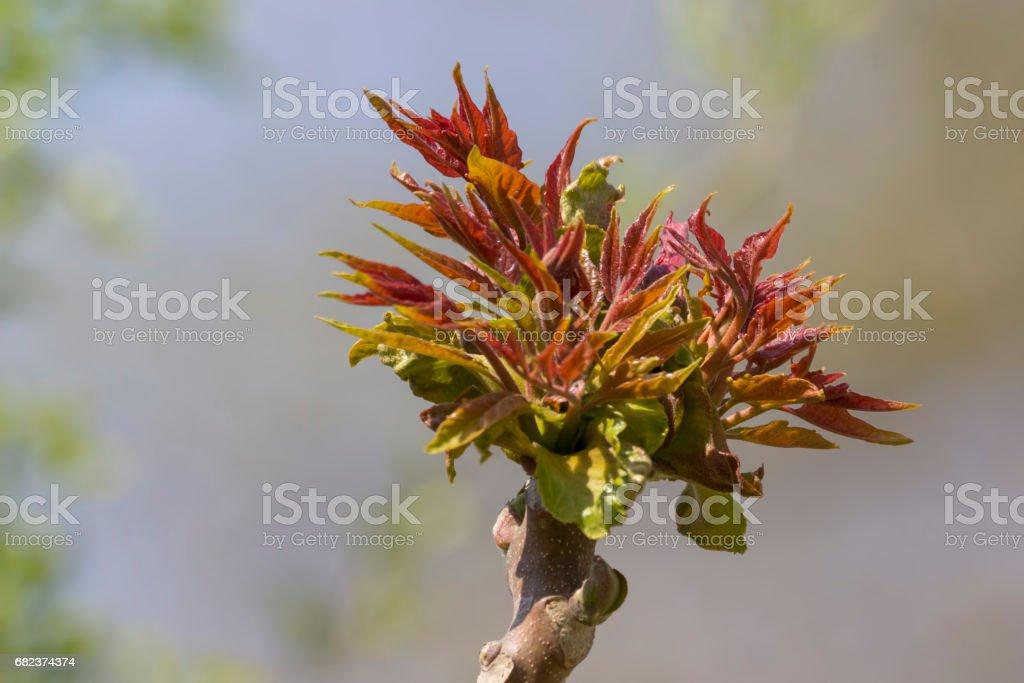 budding tree in spring royalty free stockfoto