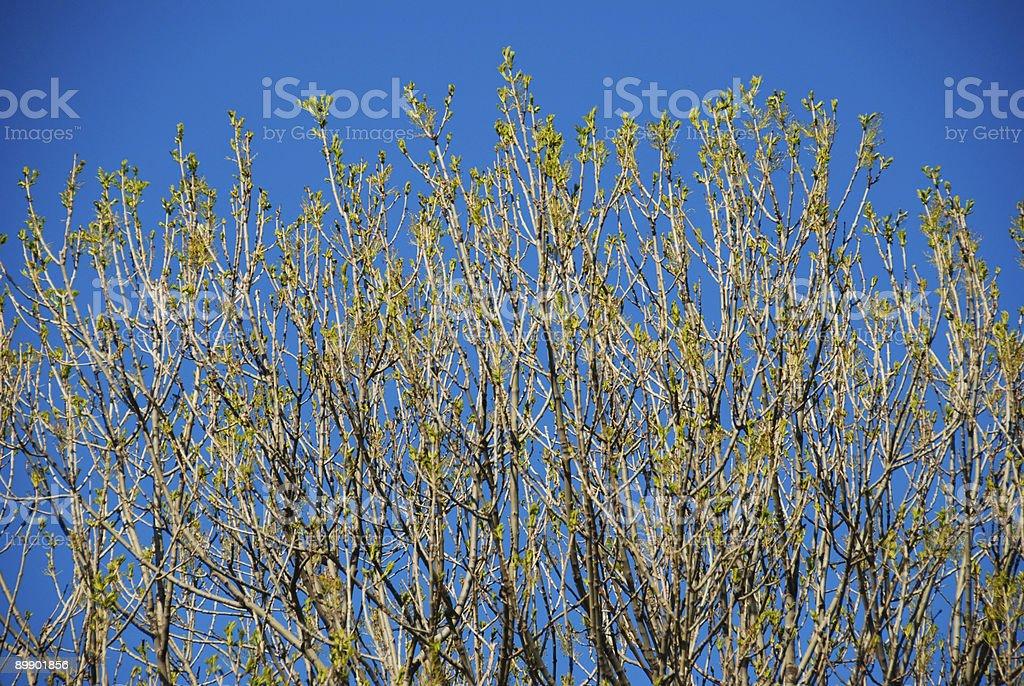 Budding treetop and sky royalty-free stock photo