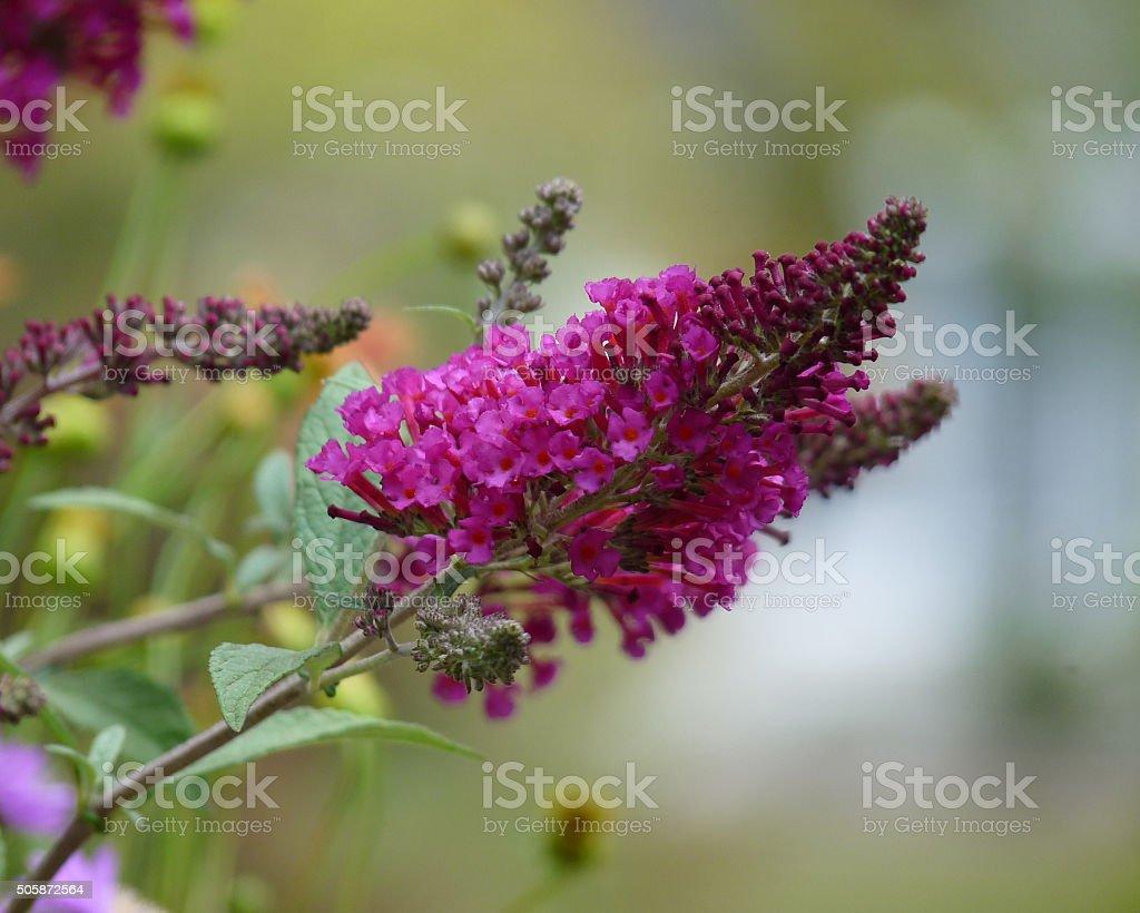 Buddleia Butterfly Bush Purple Pink Blossoms Flowers Dreamy