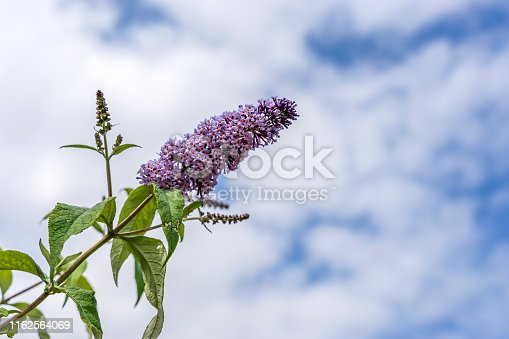 Buddleia flower of the butterfly bush against blue sky background