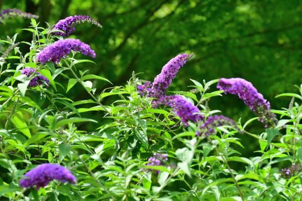 Buddleja / Schmetterling Bush / Sommer Flieder – Foto