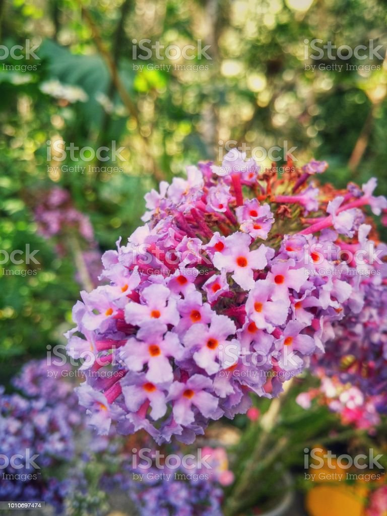 Buddleja Davidii A Beautiful Bouquet Of Small White And Pink Flowers