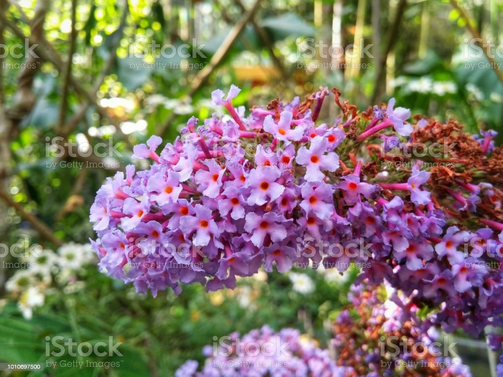 Buddleja Davidii A Beautiful Bouquet Of Small White And Pink Flowers Stock Photo More Pictures Of Agricultural Field
