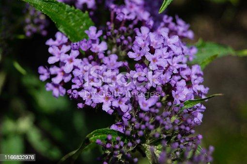 Buddleja Davidii, der Schmetterlingsflieder in vielen tollen Farben erhältlich und gern besucht von Schmetterlingen aller Art