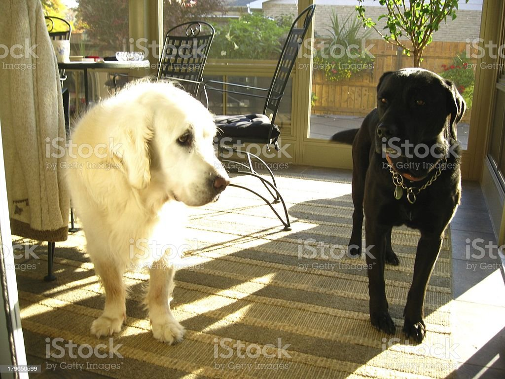 Buddy Labs in the sun room royalty-free stock photo