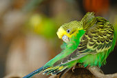 budgerigar bird