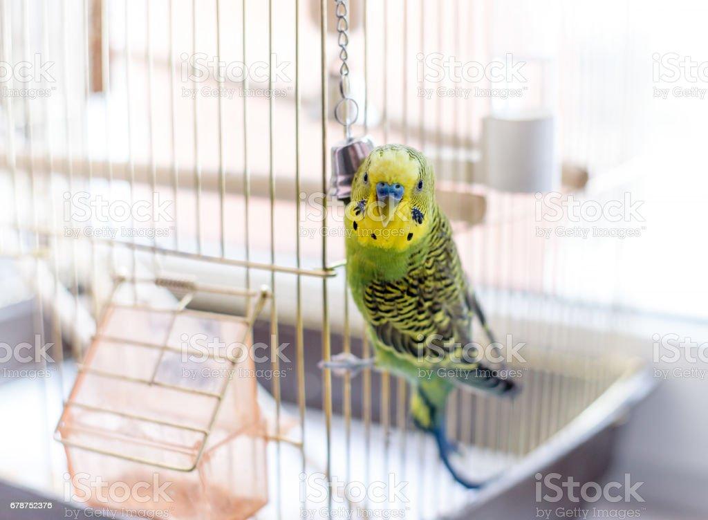 Budgerigar perto da gaiola de pássaro. Periquito e bell - foto de acervo
