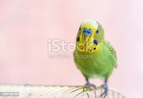 Budgerigar on the birdcage. Budgie