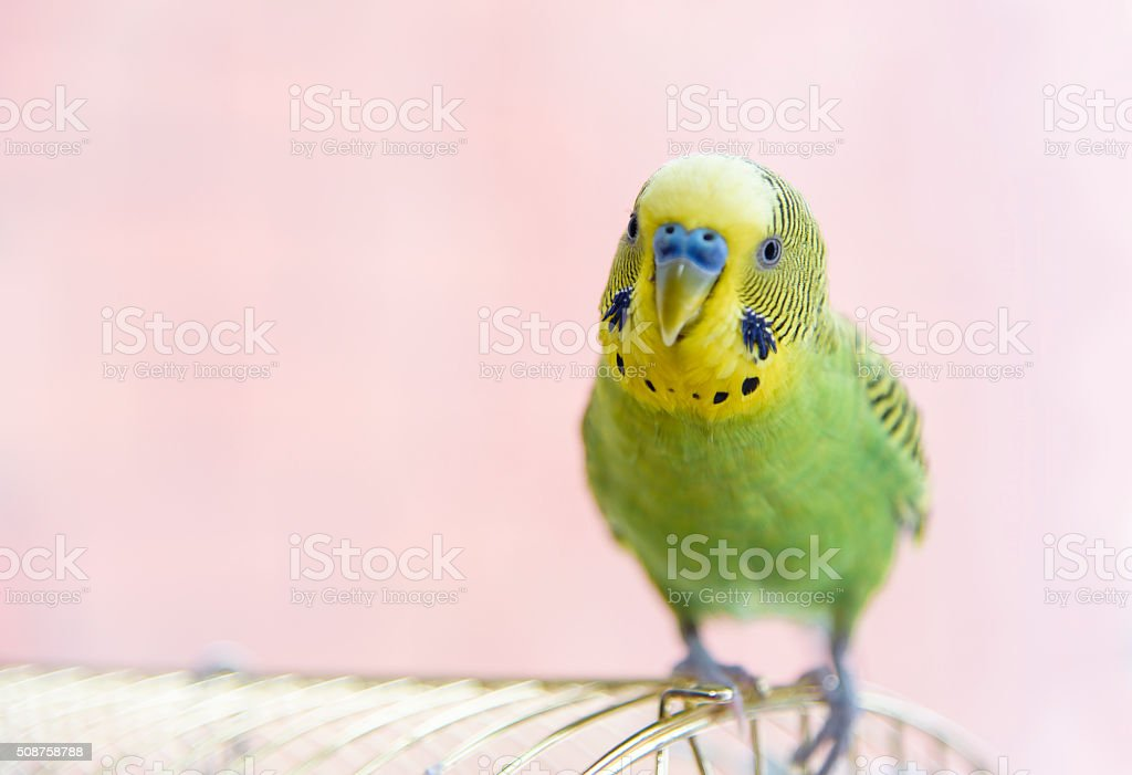 Budgerigar on its cage. Budgie stock photo