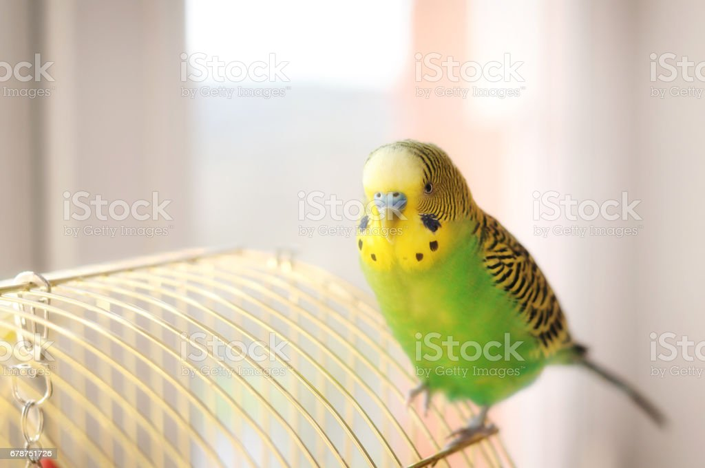 Budgerigar on the birdcage. Budgie stock photo