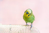istock Budgerigar on the birdcage. Funny budgie 511373166