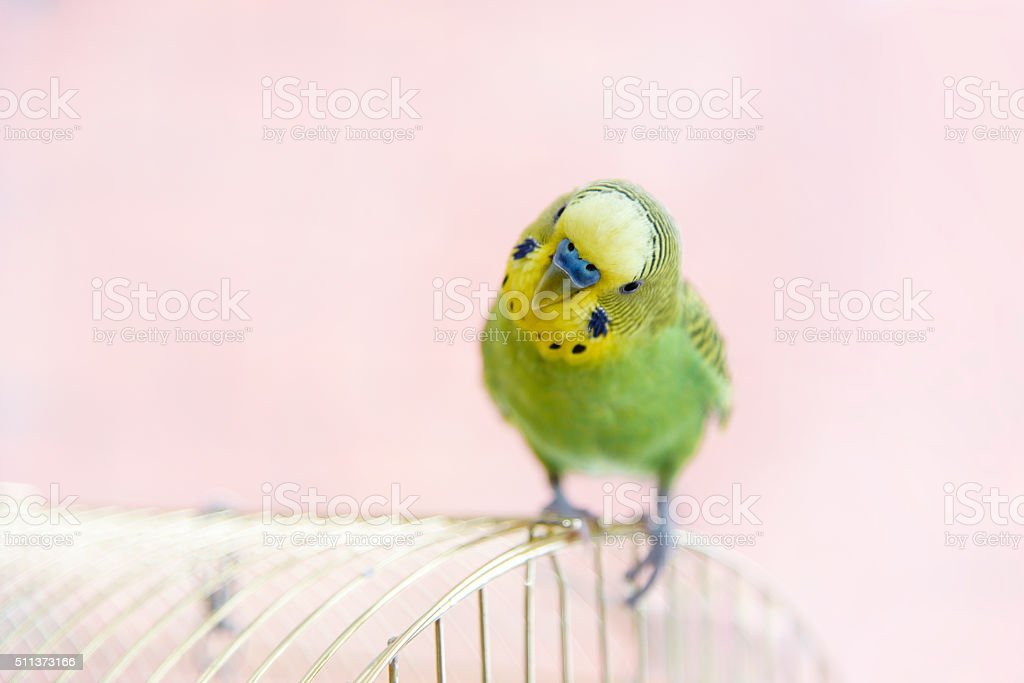 Budgerigar on the birdcage. Funny budgie stock photo