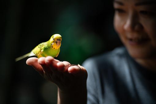 Budgerigar, parakeet australia