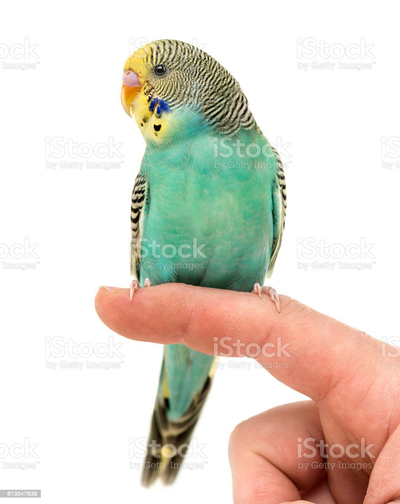 Budgerigar parakeet perched on a finger isolated on white stock photo