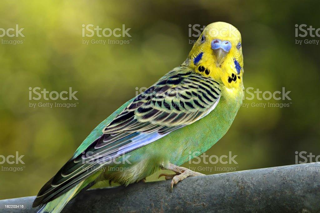 Budgerigar [Parakeet] stock photo